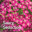 Achillea m. Saucy Seduction - Yarrow.jpe