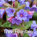 Pulmonaria Trevi Fountain - Lungwort.jpe