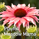Echinacea Playful Meadow Mama - Coneflow