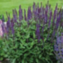 Salvia n. Caradonna.jpg