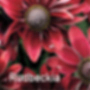 Rudbeckia Cherry Brandy - Black-Eyed Susan