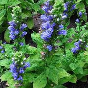 Lobelia siphilitica - Great Blue Lobelia.
