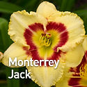 Hemerocallis Monterrey Jack - Daylily.jp
