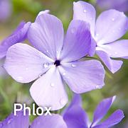 Phlox div. Blue Moon - Woodland Phlox.