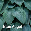 Hosta Blue Angel.jpeg