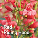 Penstemon Red Riding Hood - Beardtongue.