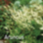 Aruncus aethusifolius - Dwarf Goatsbeard