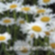 Leucanthemum - Shasta Daisy