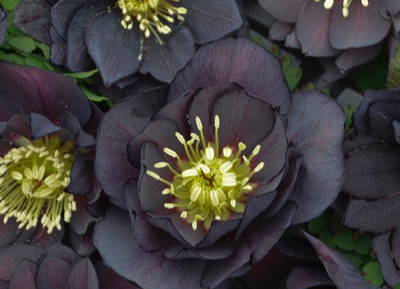 Helleborus 'Dark & Handsome'