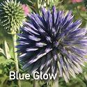 Echinops Blue Glow