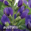 Baptisia australis - False Indigo