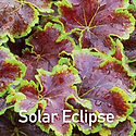 Heucherella Solar Eclispe - Foamy Bells