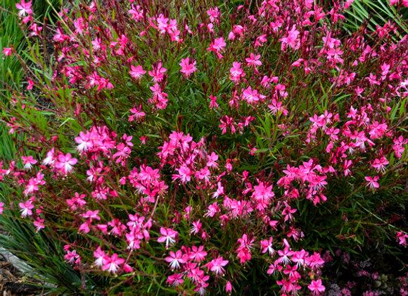Gaura 'Belleza Dark Pink'