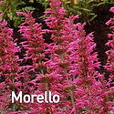 Agastache Morello - Hummingbird Mint.jpe