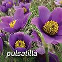 Anemone pulsatilla - Pasque Flower