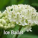 Asclepias i. Ice Ballet - Swamp Milkweed