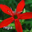 Silene regia - Royal Catchfly.