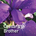 Siberian Iris Caesars Brother