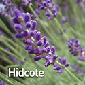 Lavandula a. Hidcote - English Lavender.