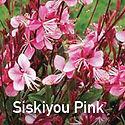 Gaura Siskiyou Pink - Beeblossom