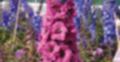 Delphinium Pink Punch - Larkspur