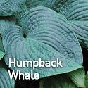 Hosta Humpback Whale.jpeg