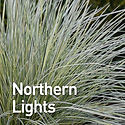 Deschampsia c. Northern Lights - Tufted