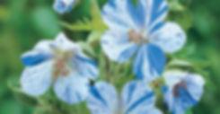 Geranium Splish Spash - Cranesbill