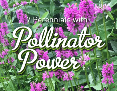 Meet the Perennials with Pollinator Power