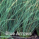 Juncus Blue Arrows - Soft Rush