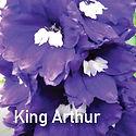 Delphinium King Arthur - Larkspur