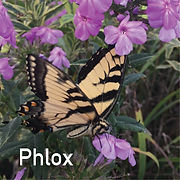 Phlox pan. Shockwave - Tall Garden Phlox