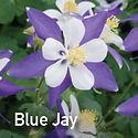 Aquilegia Songbird Blue Jay - Columbine