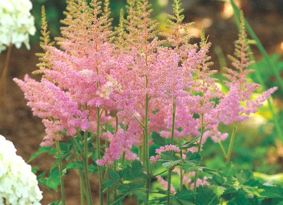 Astilbe c. 'Vision in Pink'
