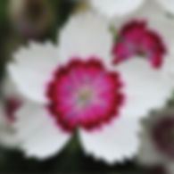 Dianthus Arctic Fire - Pinks.jpg
