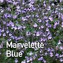 Calamintha Marvelette Blue - Calamint.jp