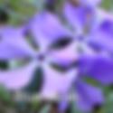 Phlox div. Blue Moon - Woodland Phlox