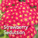 Achillea m. Strawberry Seduction - Yarro
