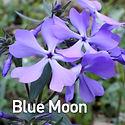 Phlox div. Blue Moon - Woodland Phlox.jp