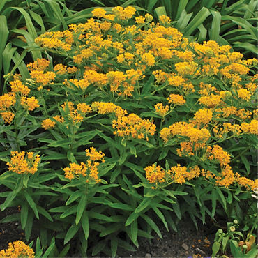 Asclepias tuberosa Hello Yellow - Butter
