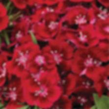 Dianthus b. Barbarini Red - Pinks.jpg
