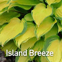 Hosta Island Breeze.jpeg