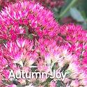 Sedum Autumn Joy - Stonecrop.jpeg