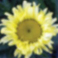 Leucanthemum Macaroon - Shasta Daisy.jpg