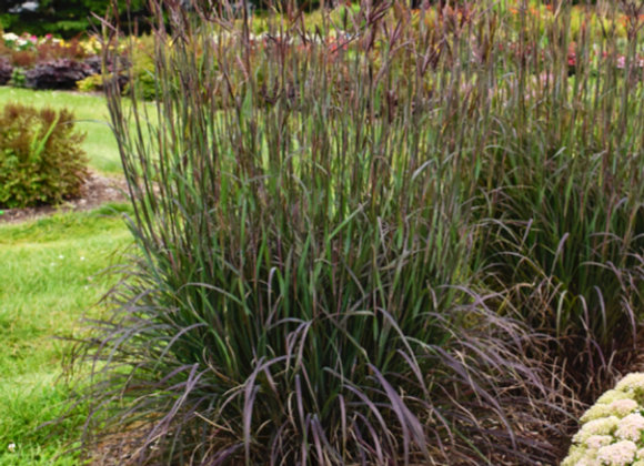 Andropogon g. 'Blackhawks'