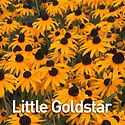 Rudbeckia Little Goldstar - Black-Eyed S