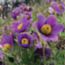 Anemone pulsatilla vulgaris - Pasque Flower.jpg