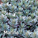 Sedum Marina - Stonecrop.jpeg