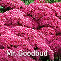 Sedum Mr. Goodbud - Stonecrop