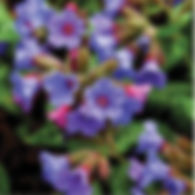 Pulmonaria Smokey Blue - Lungwort.jpg
